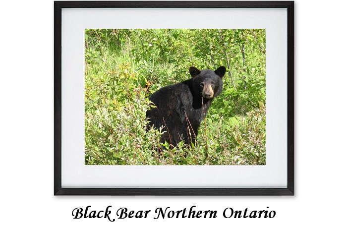 Black Bearr Northern Ontario